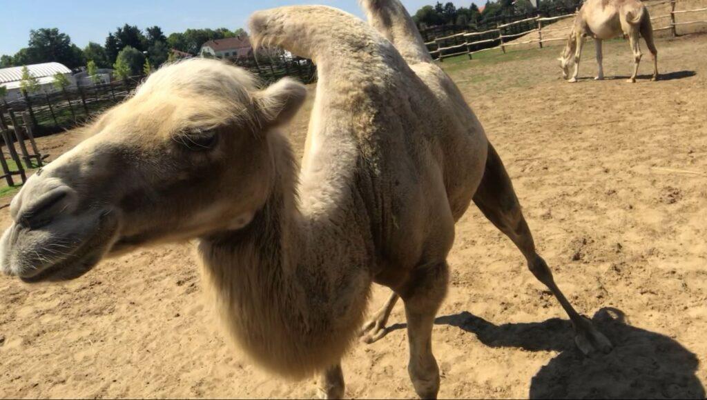 camels in croatia