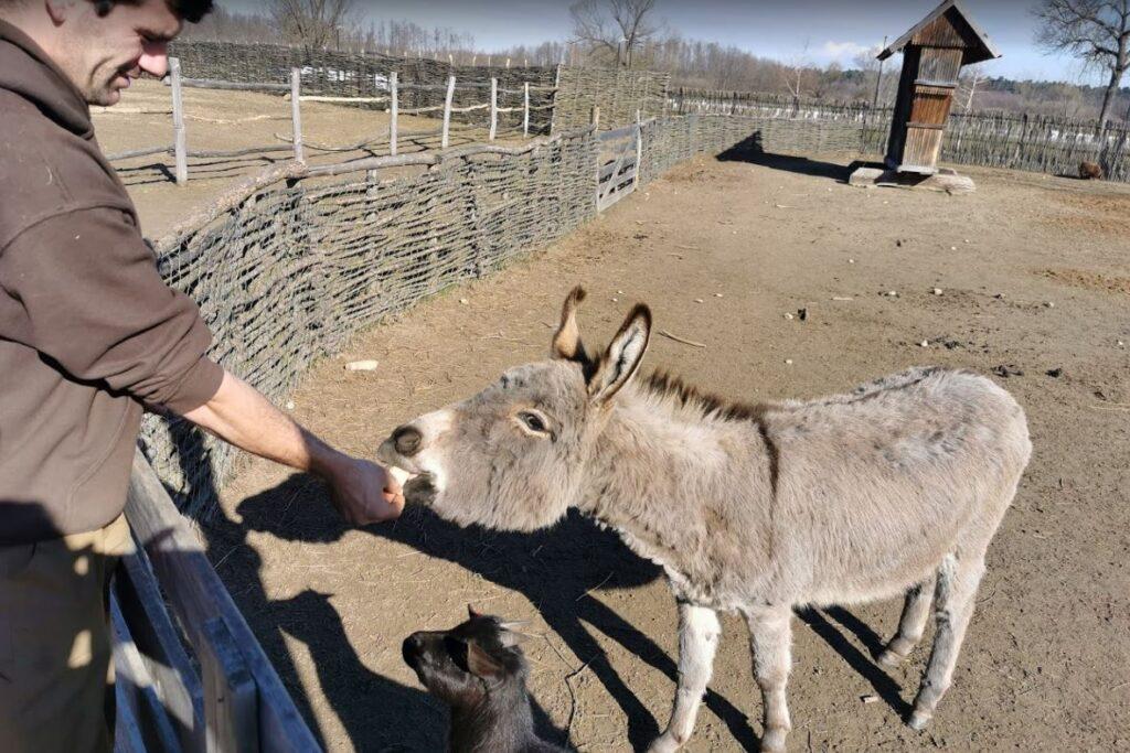 feeding animals at djurdjevac zoo